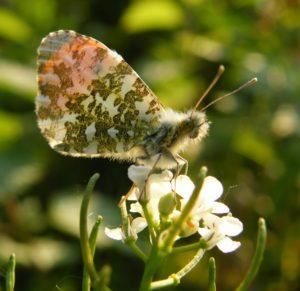 Orange-tip butterfly by Jo Cartmell